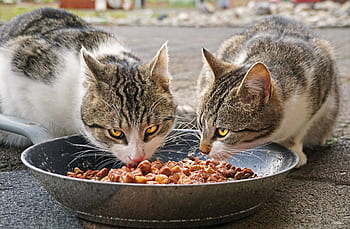 Soft Dry Cat Food For Cats With Bad Teeth Kittyexpert Com