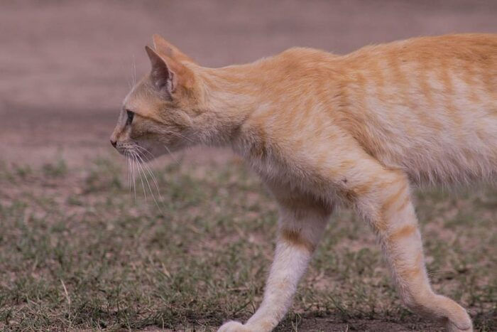 How To Help A Cat With Kidney Disease Gain Weight